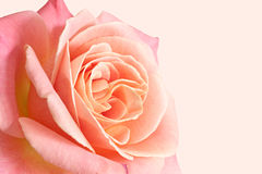 Rose. Stock Photos