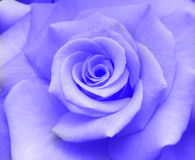 Rose. Lavender coloured rose filling image royalty free stock photos