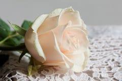 Rose. Royalty Free Stock Photos