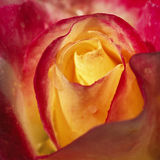 Rose. Close view of red and yellow rose flower royalty free stock photos