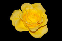 Rose. Close up of a yellow rose stock photography