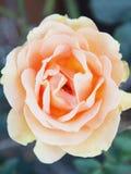 A rose Stock Photos