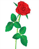 Rose. Red rose over white background stock illustration
