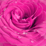 Rose. Pink rose with water drops close up Stock Images