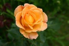 Rose. Orange roses green background horizontal white garden rose bloom blossom plant Royalty Free Stock Photo