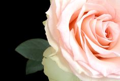 Rose. Pink rose isolated over black background with space fotr text royalty free stock photos