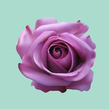 Rose. Vector illustration of the flower - rose Stock Images