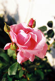 Rose 2 Royalty Free Stock Images