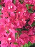 Rose 2 de bouganvillée de fleur Image libre de droits