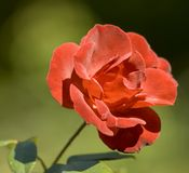 Rose. Red rose on green background with soft focus Royalty Free Stock Photos
