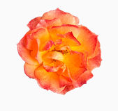 The rose Stock Images