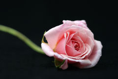 Rose Photo stock
