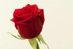 Rose. Beautiful red rose on pale brown backgroundrn Royalty Free Stock Images