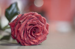 Rose. Red fine rose on the table royalty free stock photo