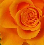 Rose Стоковая Фотография RF