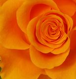 Rose Royaltyfri Fotografi