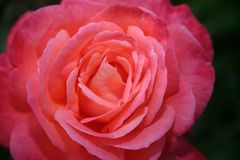 Rose. Beautiful closeup of a vivid red rose Royalty Free Stock Photo