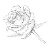 Rose. Vector illustration with rose in vintage engraving style Stock Photo