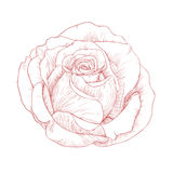 Rose. Vector illustration with rose in vintage engraving style Stock Photos