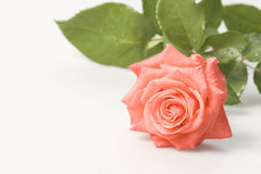 Rose Stock Image