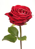 Rose. Golden wedding rings on red rose Royalty Free Stock Images