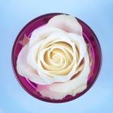 Rose. White rose on light blue background Stock Images
