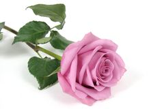 rose στοκ φωτογραφία με δικαίωμα ελεύθερης χρήσης