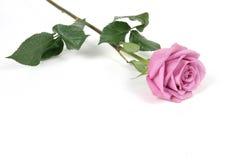 rose στοκ φωτογραφίες με δικαίωμα ελεύθερης χρήσης