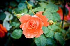 Rose Стоковое Изображение RF