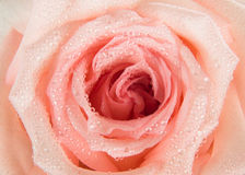 rose Fotografia Stock