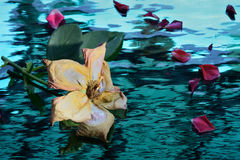 Rose Стоковое фото RF