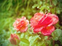 Rose Royaltyfria Foton