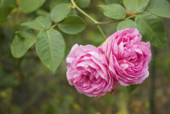 Rose. It is bunch of beautiful pink roses Stock Photography