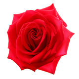 Rose. Red rose on the white background (isolated royalty free stock photo