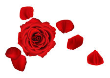 Rose. With some fallen petals Royalty Free Stock Photography