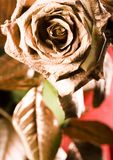 Rose. (Rosa), a kind of flower which belongs to the -like family, includes over 200 species (according to some researchers up to a few thousands) bushes, which royalty free stock image
