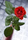 Rose. (Rosa), a kind of flower which belongs to the -like family, includes over 200 species (according to some researchers up to a few thousands) bushes, which royalty free stock photos