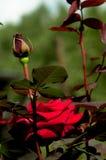 Rose-3 photographie stock libre de droits