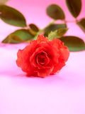 Rose 3 Royalty Free Stock Photos