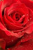 Rose 3 Stockfotos