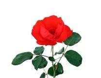 rose Obrazy Stock