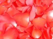 Rose Stock Image