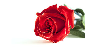 Rose. Red rose on white background stock image
