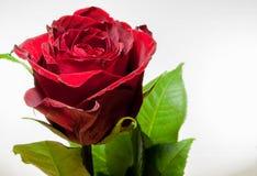 Rose Stockfotos