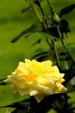 Rose-4 Lizenzfreie Stockfotografie