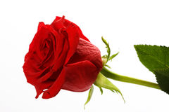 Free Rose Stock Images - 4013994