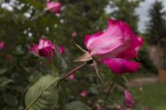 - rose, Obrazy Stock