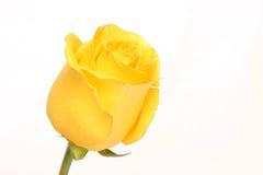 Rose. Royalty Free Stock Image