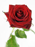 Rose. Red rose on white background Royalty Free Stock Image