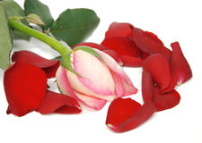 Rose. Pink and white rose surrounded by red rose petals Royalty Free Stock Photo